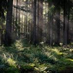 Schwarzwald Tannen beim Wellnesshotel im Schwarzwald
